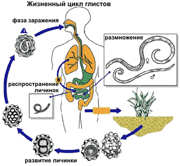 Жизненный цикл глиста