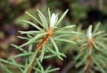 Трава багульник болотный: свойства, отзывы, применение