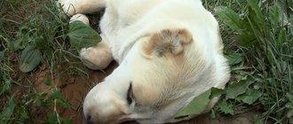 Как лечить глисты у собак?