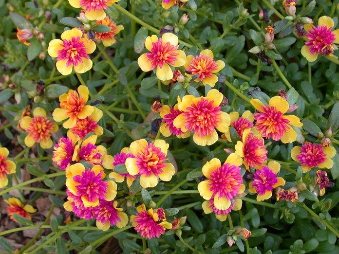 Огородный портулак в период цветения