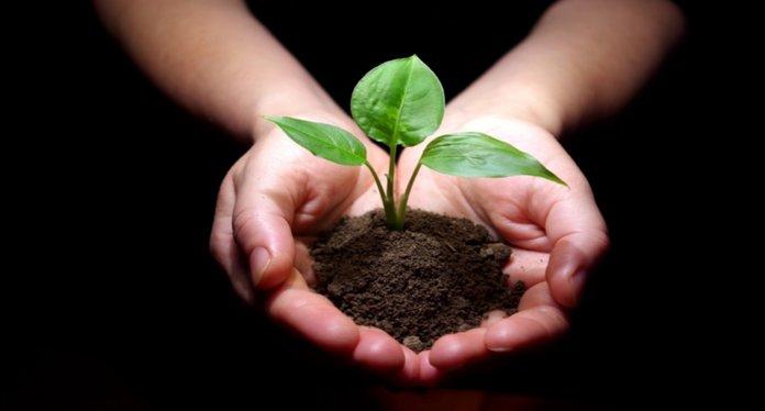 Полезные свойства огородного портулака для организма человека