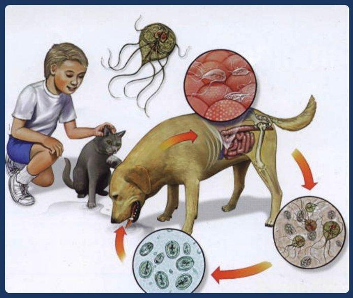 Способы заражения лямблиозом