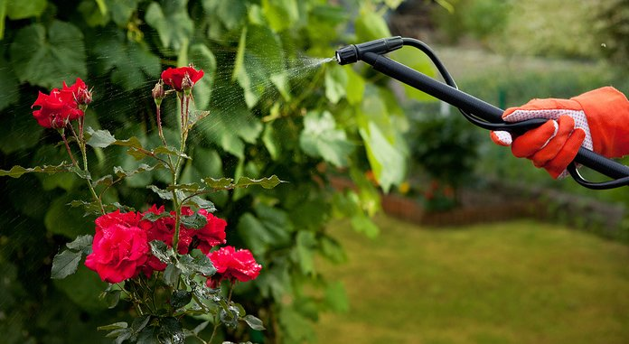 Полив и уход за розами