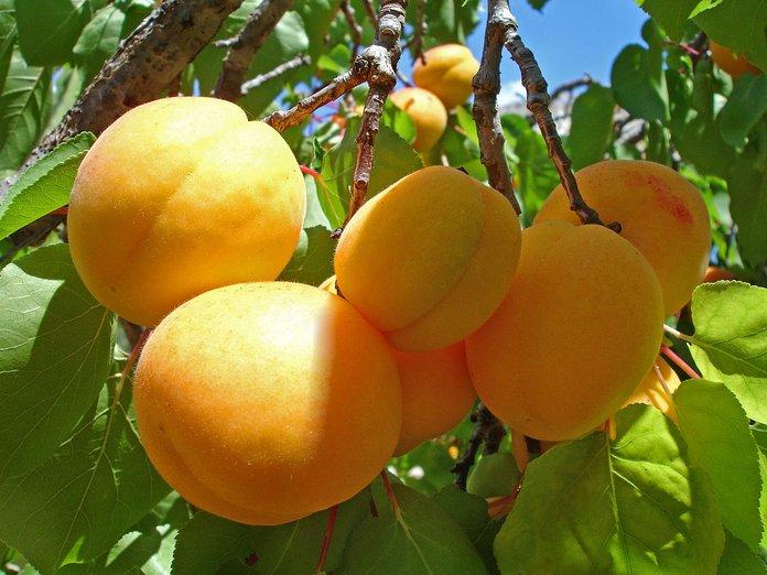 Особенности выращивания абрикоса