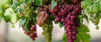 Как вырастить виноград из черенков?