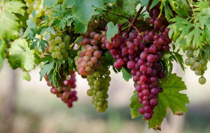 Выращивание винограда из черенка