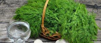 Как вырастить укроп на подоконнике?