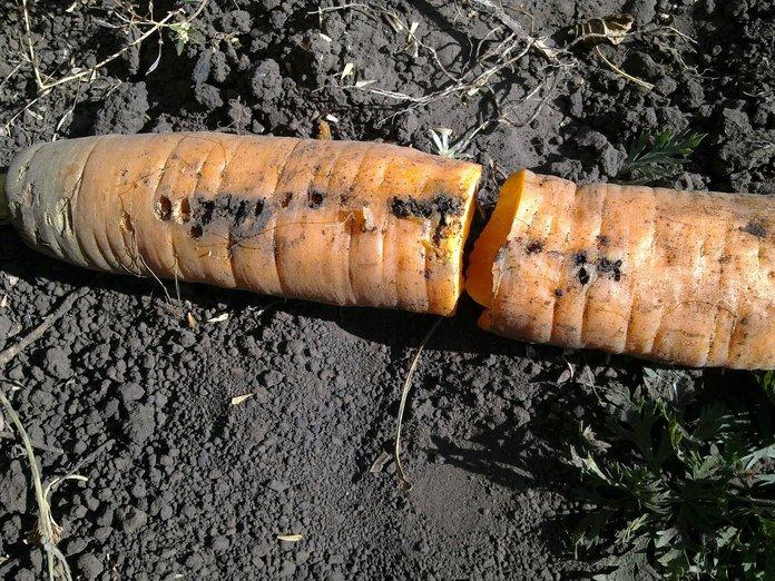Следы от вредителей на моркови