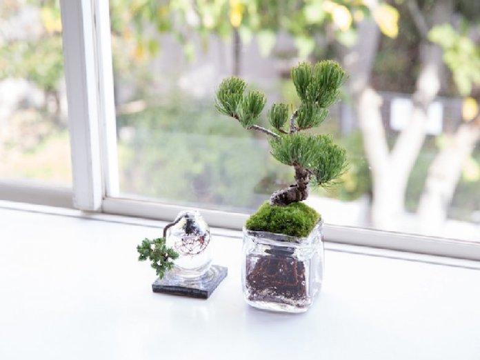 Этапы посадки деревца бонсай