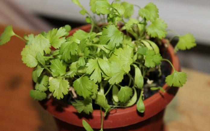 Условия выращивания зелени дома