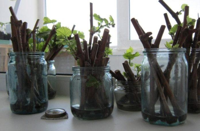 Плюсы выращивания винограда из черенков