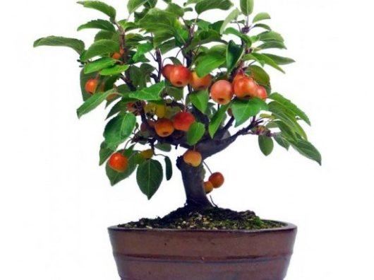 Как вырастить яблоню в домашних условиях?