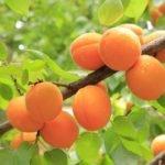 Как вырастить абрикос в домашних условиях из косточки?