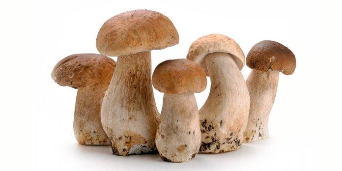 Разведение белого гриба в домашних условиях
