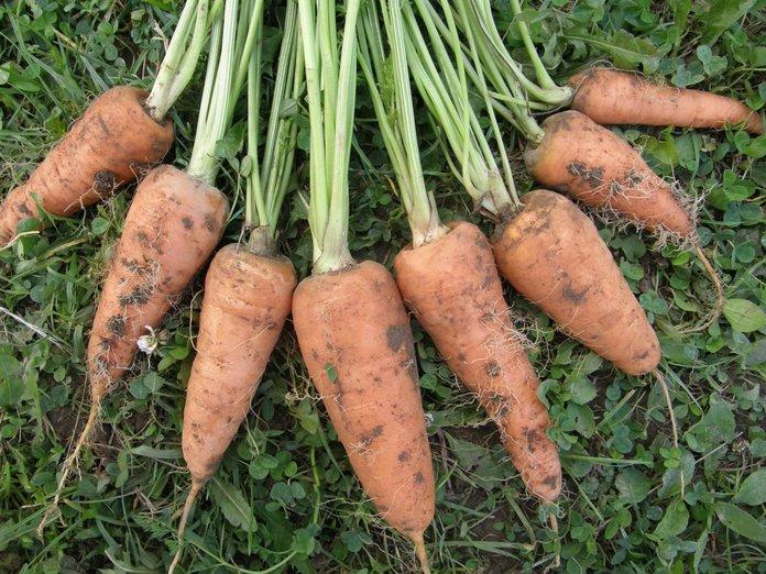 Морковь особая