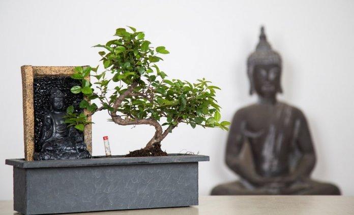 Условия для роста дерева бонсай