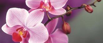 Как вырастить орхидею из семян?