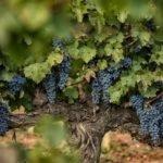 Как вырастить виноград из черенков в домашних условиях?