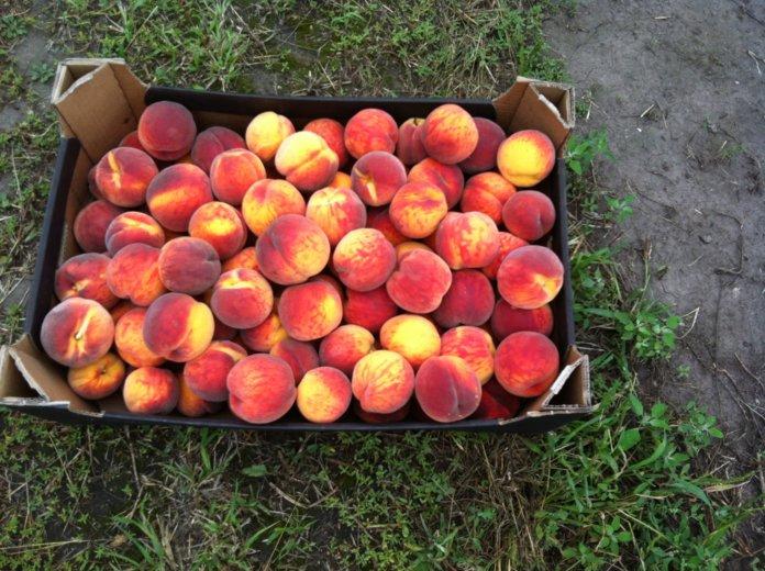 Урожай персика