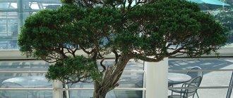 Дерево бонсай: как вырастить?