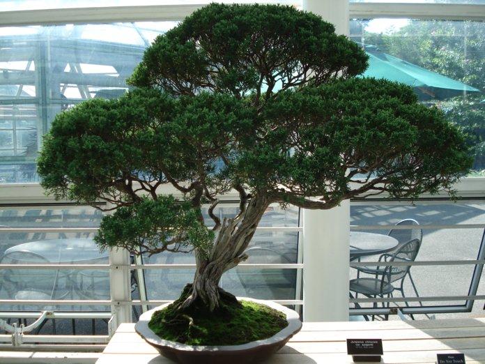 Выращивание деревца бонсай