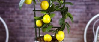 Как вырастить лимон дома?