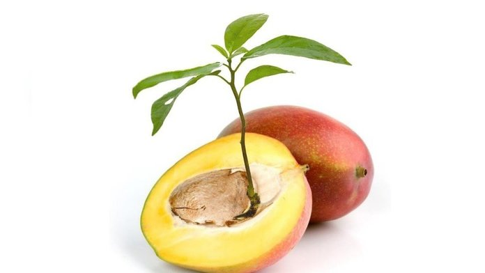 Разведение манго из косточки