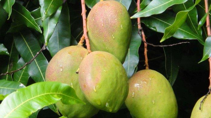 Полив манго