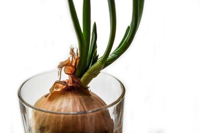как выращивать лук из луковицы дома