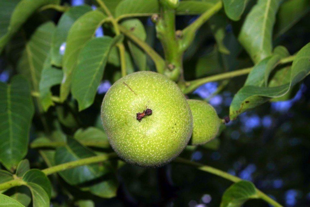 Как вырастить грецкий орех из плода?