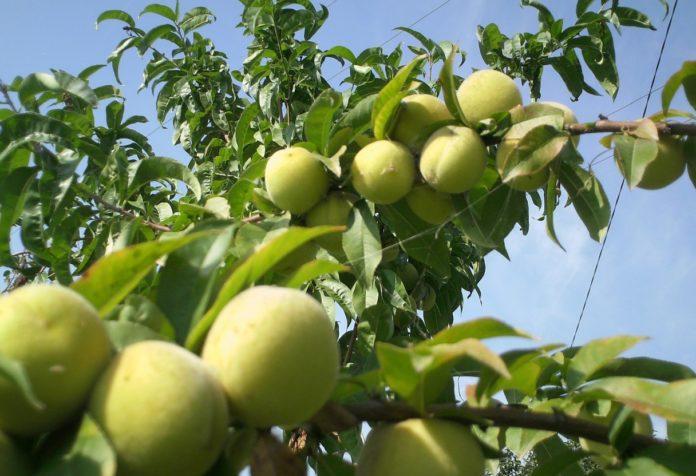 Уход за персиковым деревом