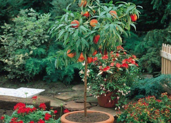 Персиковое деревце