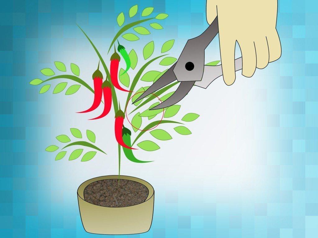 Как вырастить перец в домашних условиях?