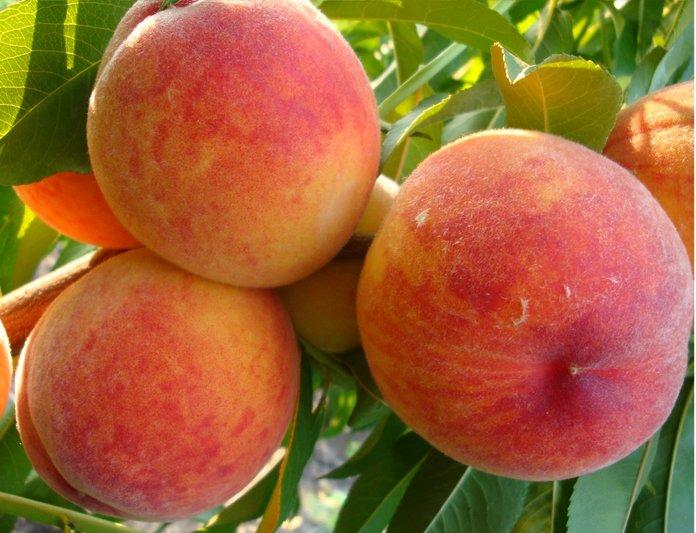 Персик в домашних условиях