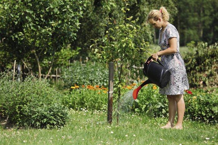 Полив молодой яблони