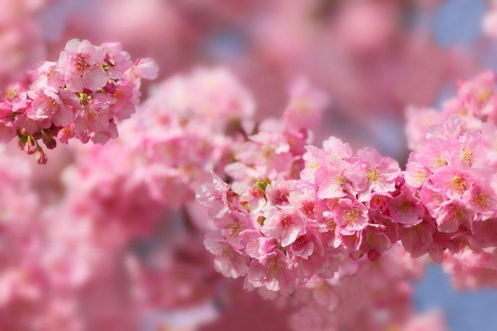 Как прорастить семена декоративной сакуры