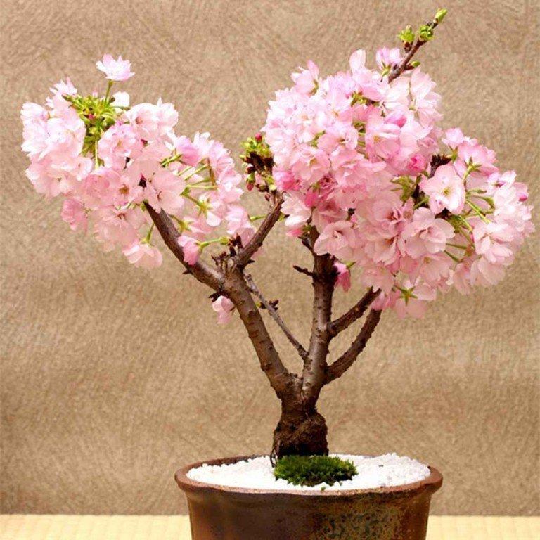 Как вырастить сакуру в домашних условиях?