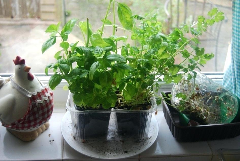 Как вырастить салат на подоконнике?