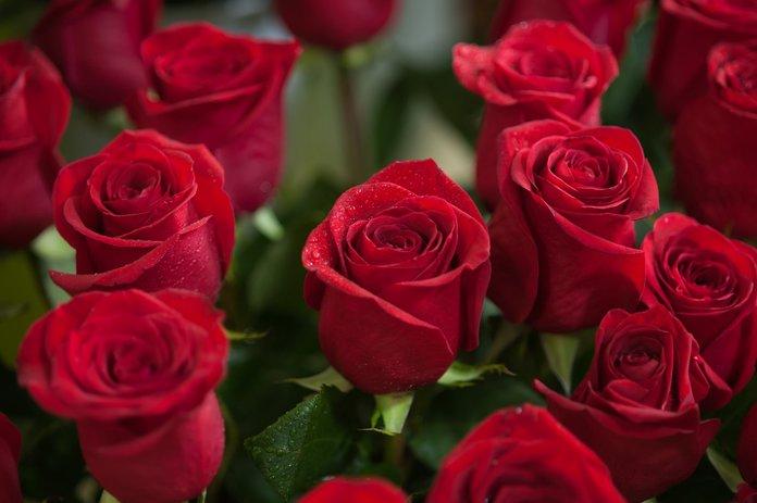 Выращивание роз из черенка