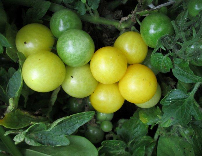 томат Оконный желтый