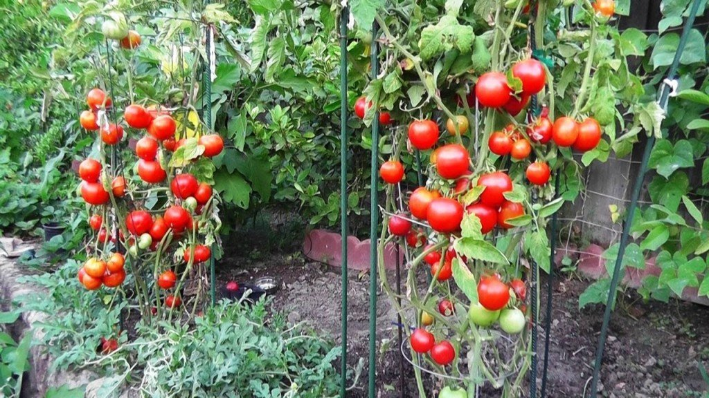 Как вырастить помидоры?