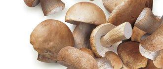 Как вырастить белые грибы на даче?