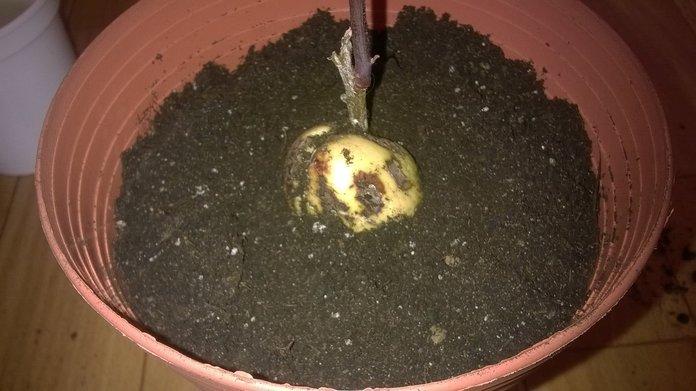 Почва для посадки авокадо