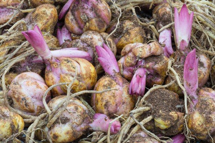 Размножение лилий из луковицы