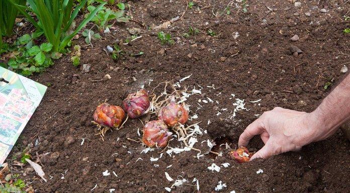 Посадка лилейных луковиц