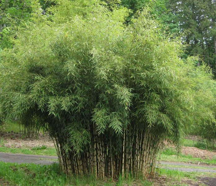 Бамбук при умеренном климате