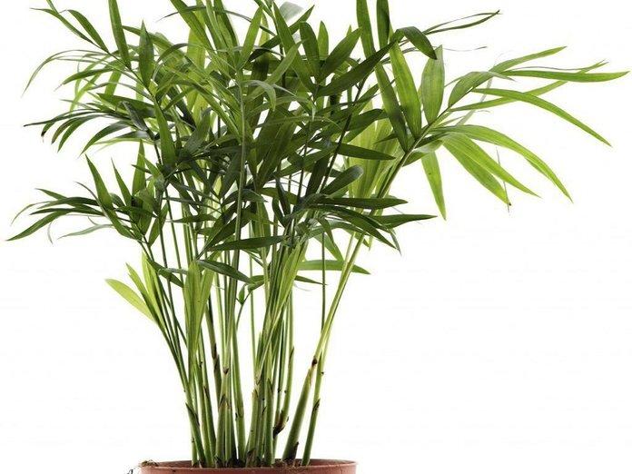 Выращиваем бамбук из семян