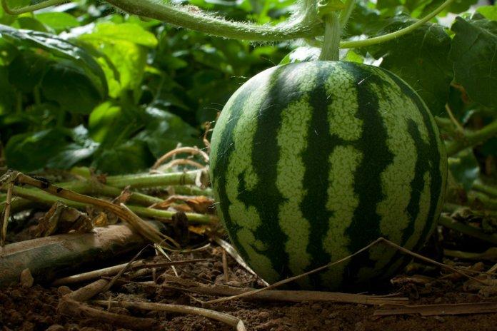 Удобрение арбуза