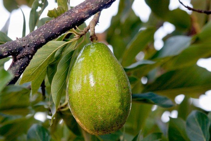 Выращивание авокадо в саду