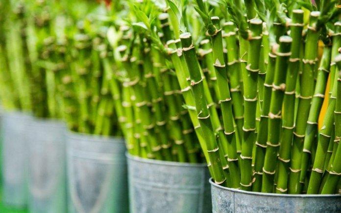 Особенности выращивания бамбука